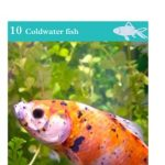 Keeping Goldfish in tanks